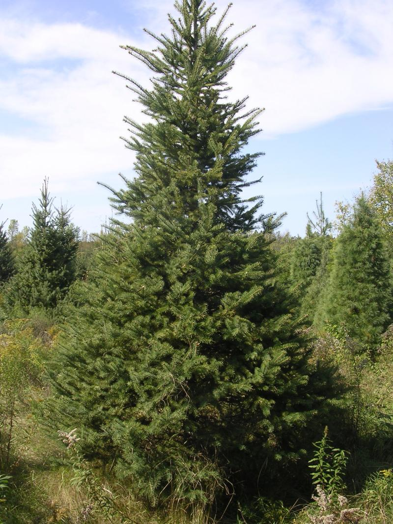 List Types of Pine Trees http://mckibbonxmastrees.com/services